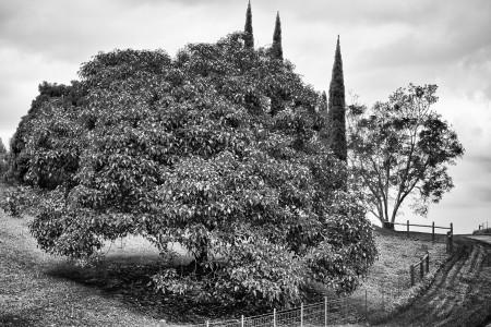 Hawaii 2013 - Farm Tree 1